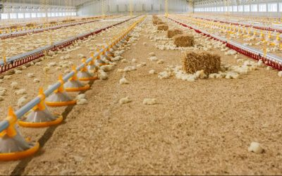 The Importance of Poultry Enrichment