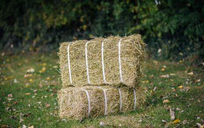 Feeding Lucerne Hay